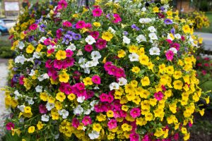 Briggs Garden Center - Calibrachoa